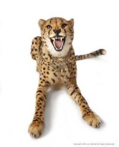 deshler_cheetah